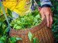 绿缀茶香伴歌行 中国茶文化之旅